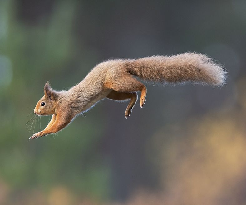 Red squirrel (Sciurus vulgaris) in mid flight in forest, Scotland.